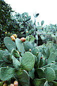USA, California, Malibu, mature cactus plants in bloom at the ranch of Mildred Millie Decker, Decker Canyon