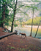 USA, California, Yosemite National Park, deer walks at the edge of the Merced River