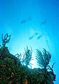 CAYMAN ISLANDS, Caribbean, freedivers training, Grand Cayman