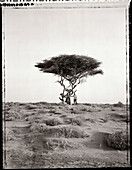 ERITREA, Asmara, a man standing in the desert under an Acacia tree on the outskirts of Asmara (B&W)