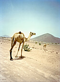 ERITREA, Tio, camels in the desert South of the town of Tio