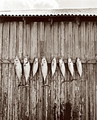 USA, Florida, Bonita fish arranged in a row on wooden wall, New Smyrna Beach (B&W)