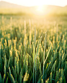 FRANCE, Burgundy, wheat field in sunrise, Chablis