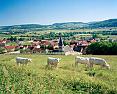 FRANCE, Burgundy, cows grazing in field above the town of Buffon