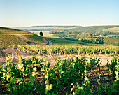FRANCE, Chablis, Burgundy, vineyard against clear blue sky, Domaine Seguinot white wine vineyard in Chablis