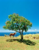 USA, Hawaii, horse and tree with the Pacific Ocean in the background, Waipi'o Valley