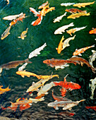 USA, Hawaii, multi colored group of Coy fish