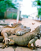 HONDURAS, Roatan, iguanas in the road