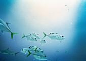 HONDURAS, Roatan, school of fish swimming underwater