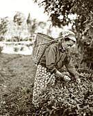 INDIA, West Bengal, female worker picking tea leaves, Ambooti Tea Gardens, Kurseong (B&W)