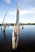 INDONESIA, Mentawai Islands, Kandui Resort; a dead forest of trees amidst the mangroves