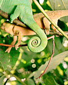 Madagascar, chameleon coiled tail, close-upMADAGASCAR, chameleon tail, close-up, Mandraka Reptile Park, Tana
