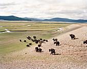 MONGOLIA, Khargana Sair, Khuvsgul National Park, yaks walk through wide open grasslands