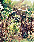 PANAMA, Cana, hiking trails through massive banana trees at the Cana Field Station near the Colombian Boarder, Darien Jungle, Central America