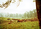 REPUBLIC OF GEORGIA, shepards moving herd of cows in the countryside