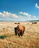 USA, Wyoming, bisons grazing in Hayden Valley, Yellowstone National Park