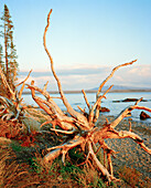 USA, Wyoming, dead tree next to Yellowstone Lake, Yellowstone National Park