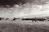 USA, Wyoming, Encampment, cowboys move cattle towards a corral to be branded, Big Creek Ranch (B&W)