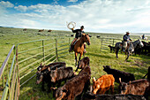 USA, Wyoming, Encampment, cowboys move cattle into a corral for branding, Big Creek Ranch