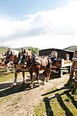 USA, Wyoming, Encampment, cowboy drives a team of belgian horses pulling a wagon, AbarA Ranch