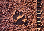 ZIMBABWE, Africa, Hwange National Park, Lion track and jeep tire track