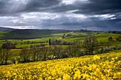 Toskanische Hügellandschaft des Val d'Orcia im Frühling mit blühendem Raps im Vordergrund, Pienza, Toskana, Italien