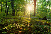 Deciduous forest in Saubachtal with sun rays in the Spring and fern in the foreground, Klipphausen, Linkselbische Täler, Saxony, Germany