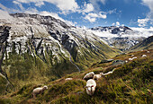 Sunlight over a mountain pasture with sheep and fresh-fallen snow on the summits of the surrounding mountains in summer, Canton of Uri, Switzerland