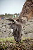 Lama eating gras, Machu Picchu, Cusco, Cuzco, Peru, Andes, South America