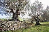 Olive tree and dry stone wall near Banyalbufar, Majorca, Spain