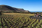 Aloe Vera field near Orzola, Lanzarote, Canary Islands, Spain