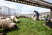 Shepherd with flock moving through the southern harbour area, main dike Lauenbruch, northern Harburg, Hamburg, Germany