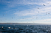 Cape Gannets hunting Sardines, Morus capensis, Indian Ocean, Wild Coast, South Africa