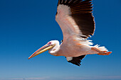 Great White Pelican in Flight, Pelecanus onocrotalus, Walvis Bay, Namibia