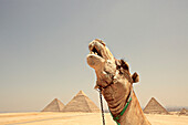 Pyramids of Giza, camel in foreground, Giza, Giza Governorate, Egypt