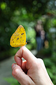 Yellow butterfly on a hand, butterfly house, Botanical Garden, Leipzig, Sachsen, Deutschland