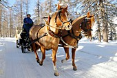 Switzerland, The Graubunden canton, Sils Maria village, Gian Coretti two horses carriage barouche