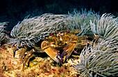 Swimming crab  Velvet fiddler  Devil crab below Sea anemone to protect themselves from predators Necora puber  Eastern Atlantic  Galicia  Spain