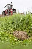 Young Brown Hare Lepus europaeus hiding in grassland & approaching tractor