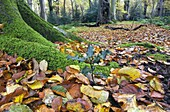 Beech Fagus sylvatica trunk moss and autumn leaves Felbrigg Great Wood Norfolk UK Early November
