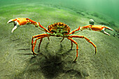 Spider crab walking underwater