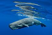 Sperm whale swimming underwater