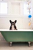 French bulldog sitting in bathtub