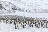 United Kingdom, South Georgia Islands, Salysbury plains, King Penguin, Aptenodytes patagonicus, in the mist and snow