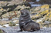 Antarctic, South Georgia, Prion Island, South American Fur Seal, Arctocephalus australis