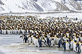 United Kingdom, South Georgia Islands, Salysbury plains, King Penguin Aptenodytes patagonicus