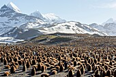 United Kingdom, South Georgia Islands, Saint Andrews plains, King Penguin, Aptenodytes patagonicus, youngs in brown
