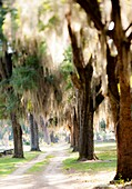 Blurry and abstract Live Oak trees with Spanish Moss in a cemetery in Selma, Alabama