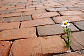 Single Flower in Cobblestones