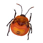 Henry Lin, Orange Stink Beetle